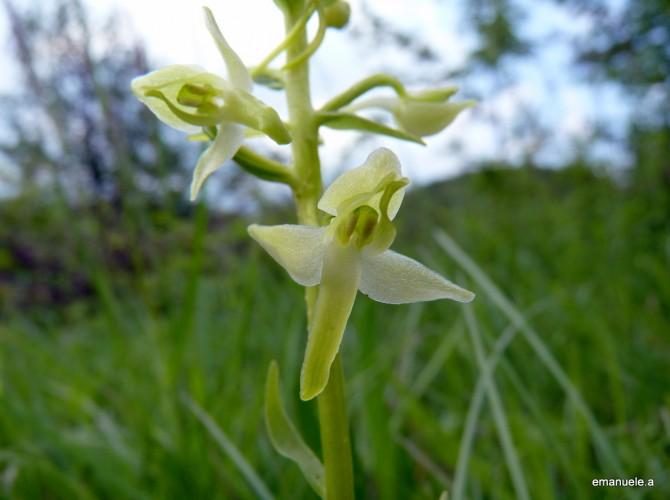 planthera bifolia 30