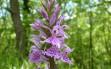 dactylorhiza maculata 12