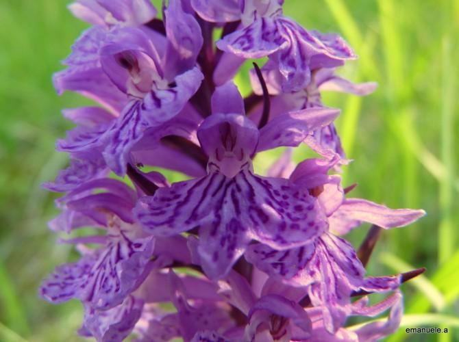 dactylorhiza maculata 36