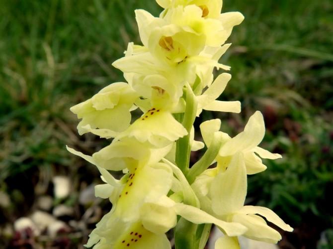 orchis pauciflora 1