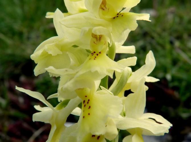 orchis pauciflora 3