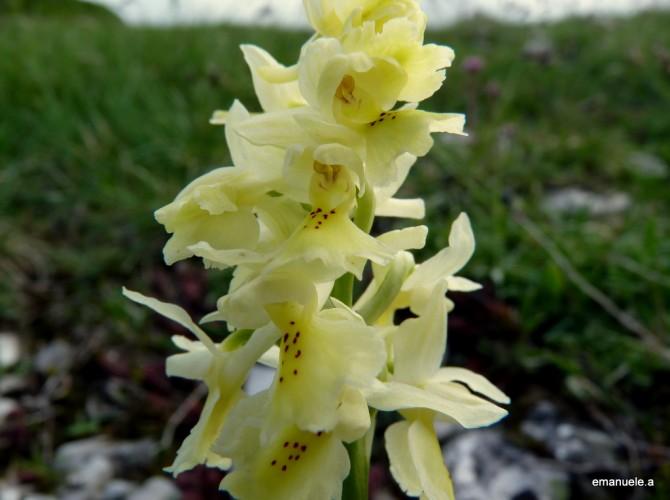 orchis pauciflora 6