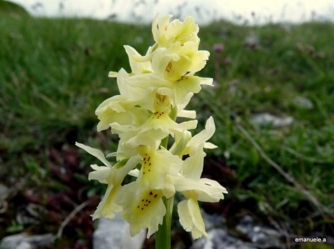 orchis pauciflora 8