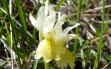 orchis provincialis 6