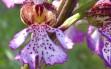 orchis purpurea 14