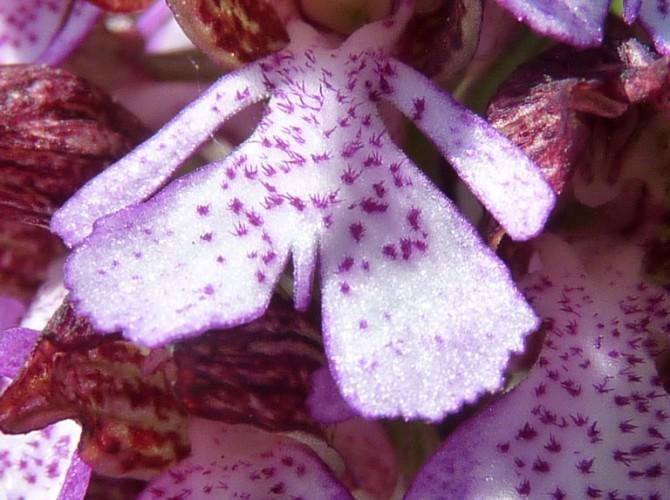 orchis purpurea 17