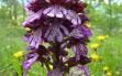 orchis purpurea 3