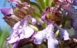 orchis purpurea 7