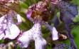 orchis purpurea 8
