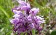 orchis simia 15