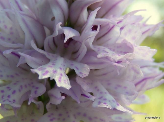 orchis tridentata 15