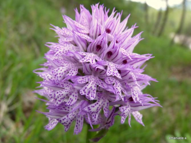 orchis tridentata 2