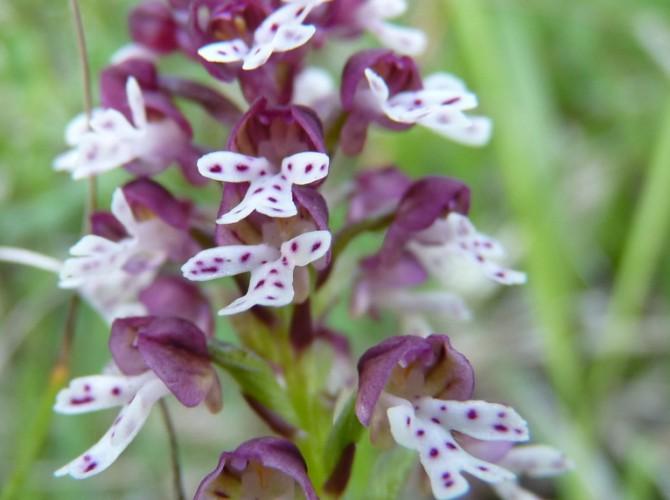 orchis ustulata 10