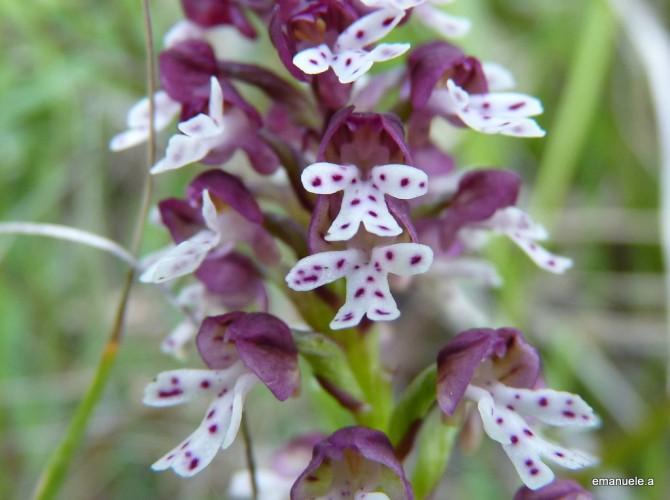 orchis ustulata 14