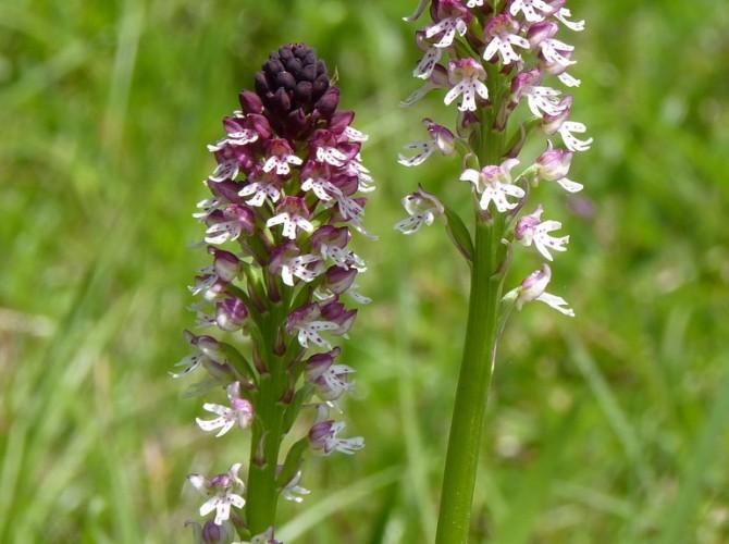 orchis ustulata 16