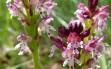 orchis ustulata 2