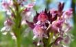 orchis ustulata 6