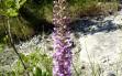 gymnadenia conopsea 1