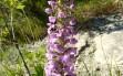 gymnadenia conopsea 2