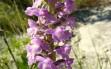 gymnadenia conopsea 3