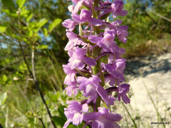 gymnadenia conopsea 6