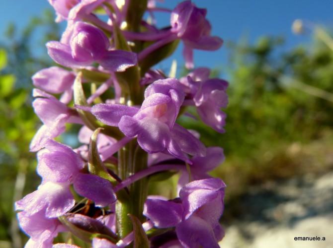gymnadenia conopsea 9