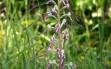 himantoglossum adriaticum 1