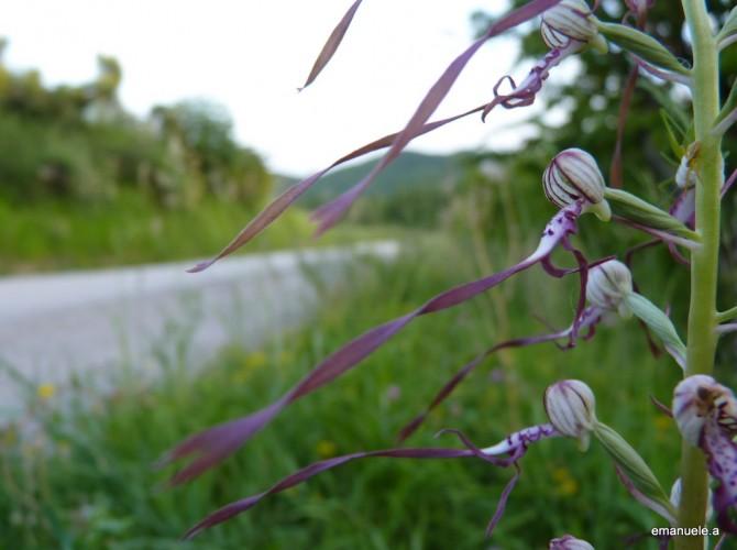 himantoglossum adriaticum 17