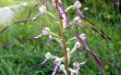 himantoglossum adriaticum 19