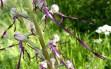 himantoglossum adriaticum 21