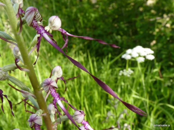himantoglossum adriaticum 4