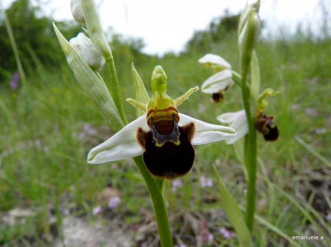ophrys apifera 2