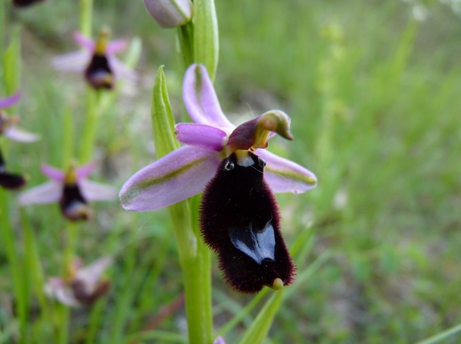 ophrys bertolonii 11