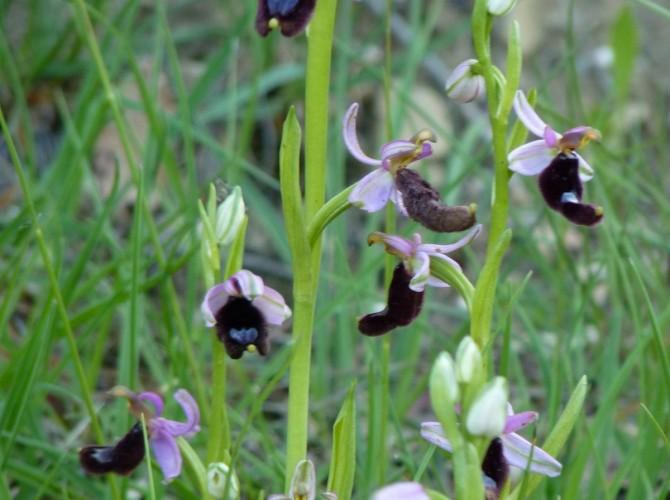 ophrys bertolonii 54