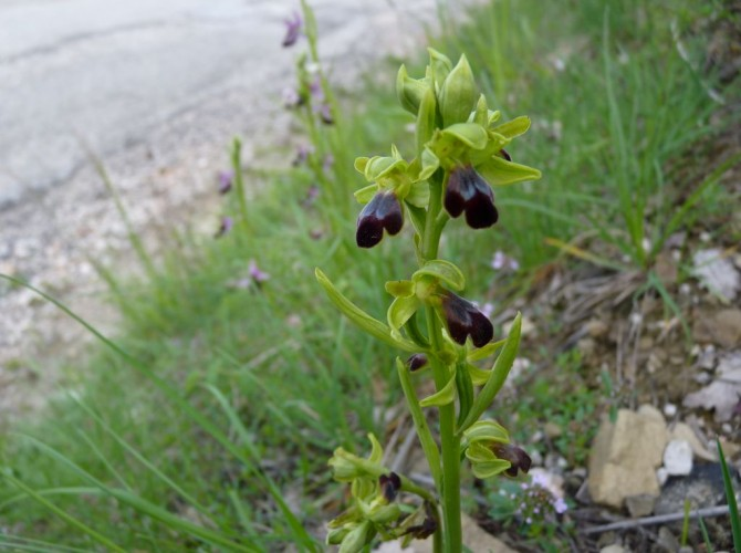 ophrys fusca 11
