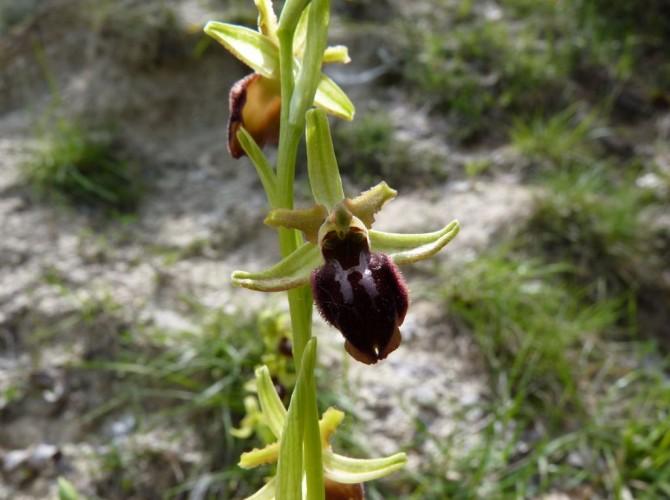 ophrys sphegodes 4