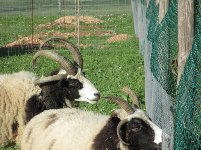pecore jakob